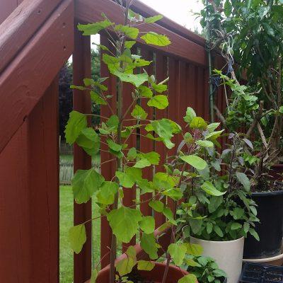 Quinoa Plants