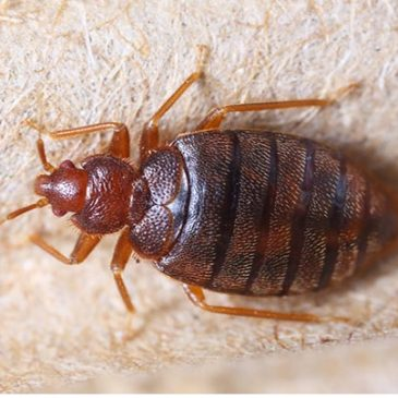Bedbugs are hotel room hitchhikers
