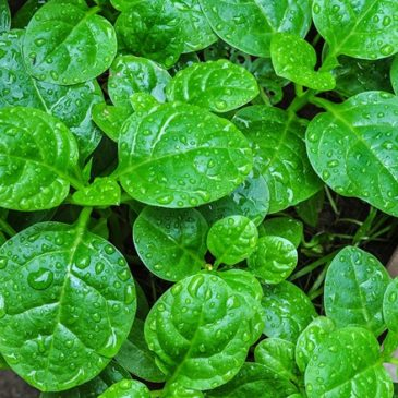 Malabar Spinach Gardening and Recipes